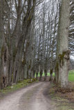 Lime tree alley of country road Stock Photos