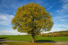 Lime-tree in autumn Stock Photography