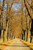 Lime tree avenue. In fall royalty free stock photo