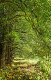 Lime tree avenue. Royalty Free Stock Photos