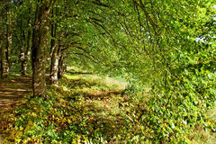 Lime- tree avenue. Royalty Free Stock Photos