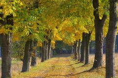 Lime tree avenue. In fall stock images