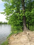lime tree on the bank Stock Photo