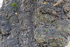 Lime tree bark. Close up view to the falling leaves and the bark of an old lime tree stock images