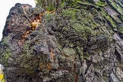 Lime tree bark. Close up view to the falling leaves and the bark of an old lime tree royalty free stock photos