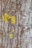 Lime tree bark covered with lichens, texture background stock image