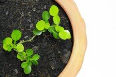 Lime tree. Bergamot or lime tree in bucket garden royalty free stock image