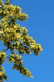 Lime tree in bloom. On blue sky royalty free stock photography