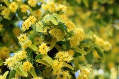 Lime tree in bloom. With flowers and leaves stock photography