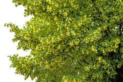 Lime-tree blossom Stock Photo
