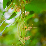 Lime-tree blossoms. Tilia species are large deciduous trees, reaching typically 20 to 40 metres tall, with oblique-cordate leaves 6 to 20 centimetres across royalty free stock photo