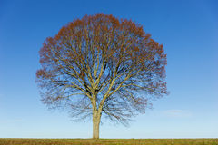 Lime tree on blue sky Stock Photography