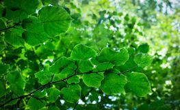 Lime tree branches. Leaves of small-leaved lime tree stock image