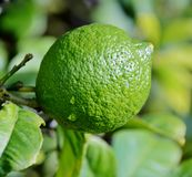 Lime on tree Stock Photos