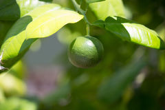 Lime Tree. Close-up of ripe lime on branch of tree royalty free stock images