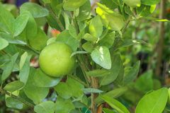 Lime Tree in the farm. Lime Tree Close up at thailand royalty free stock photo