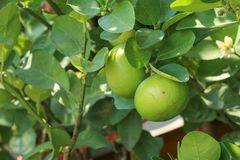 Lime Tree in the farm. Lime Tree Close up at thailand royalty free stock image