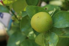 Lime Tree in the farm. Lime Tree Close up at thailand stock images