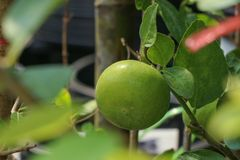 Lime Tree in the farm. Lime Tree Close up at thailand stock photos