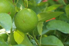 Lime Tree in the farm. Lime Tree Close up at thailand stock photography