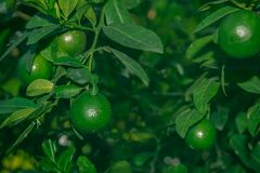 Lime on tree. Closeup of fresh lime on tree royalty free stock image