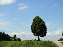 Lime tree in the countryside with blue sky and small clouds. A road leads to this tree stock image