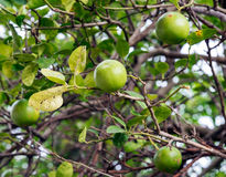 Lime tree. In the countryside of Thailand Royalty Free Stock Photos
