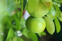 Lime Tree in the farm. Lime Tree Close up at thailand royalty free stock photos