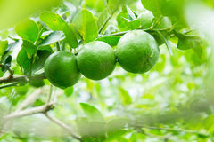 Lime tree in the farm. Raw lime vegetables in nature organic farm Royalty Free Stock Photography