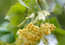 Lime tree flower Royalty Free Stock Images