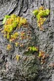 Lime tree foliage and bark. Close up view to young leaves and shoots sprouting from the bark of an old lime tree royalty free stock image