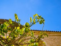 Lime tree with fresh lime fruit on it stock images