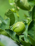 Lime tree and fresh green limes on the branch. Stock Images