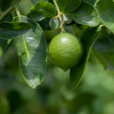 Lime tree and fresh green limes on the branch . Royalty Free Stock Photos