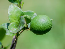 Lime tree and fresh green limes on the branch in the lime garden Stock Image