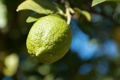 Lime tree Royalty Free Stock Image