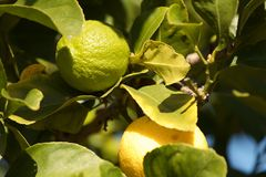 Lime tree Royalty Free Stock Photo