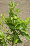 Lime tree. Fresh lime tree in vegetable garden royalty free stock image