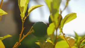 Lime tree with fruit. Close-up shot of lime tree with fruit in sunlight stock video footage