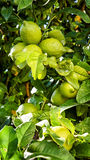 Lime Tree. Lime fruit, Lime green tree hanging from the branches of it stock images
