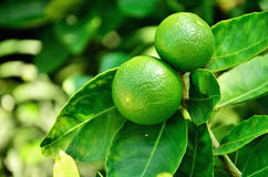 Lime on tree. Lime tree with fruits closeup royalty free stock photos