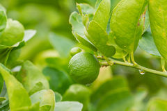 Lime tree with fruits closeup. Green lemon on tree stock image