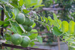 Lime tree with fruits Royalty Free Stock Image