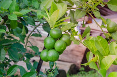 Lime tree with fruits Royalty Free Stock Photos