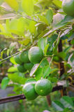 Lime tree with fruits. Lime green tree hanging from the branches of it stock image