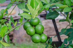 Lime tree with fruits. Lime green tree hanging from the branches of it stock photo