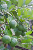 Lime tree with fruits. Lime green tree hanging from the branches of it royalty free stock image