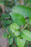 Lime tree with fruits. Lime green tree hanging from the branches of it royalty free stock photo