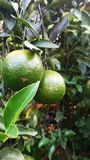Lime tree. In the garden stock images