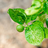 Lime in tree. Lime on tree in the garden royalty free stock images